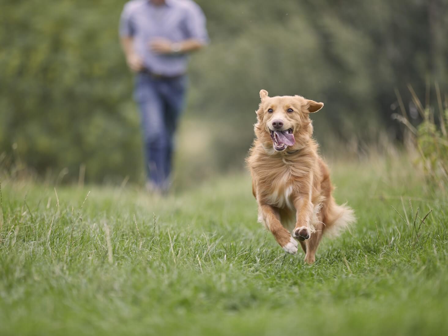Duck Toller Retriever running in a field