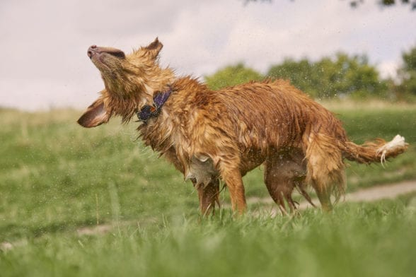 Wet light brown dog shaking their body outside wearing a collar with a PitPat 2