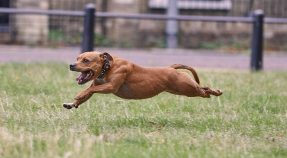Staffordshire Bull Terrier running in a field wearing a PitPat