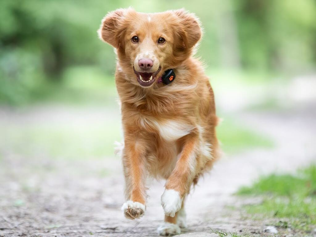 Duck Toller Retriever running in forest