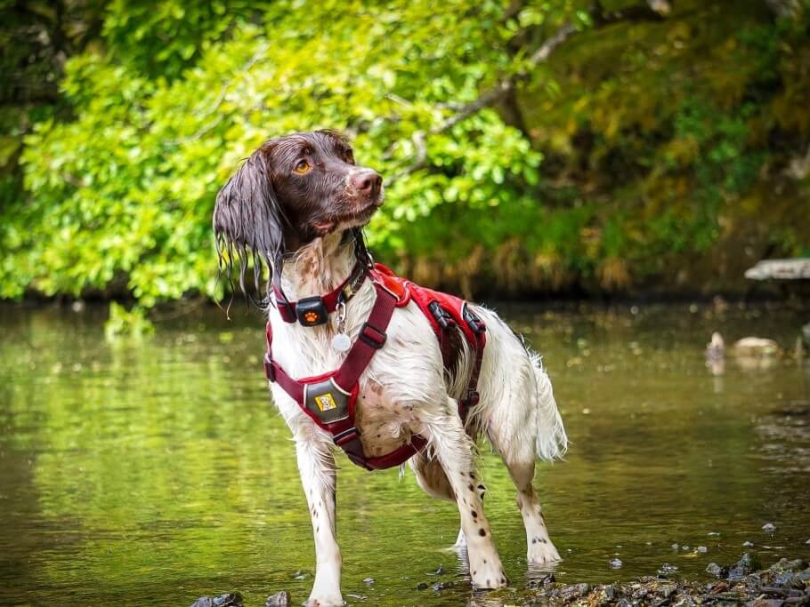 Springer Spaniel in water wearing a harness