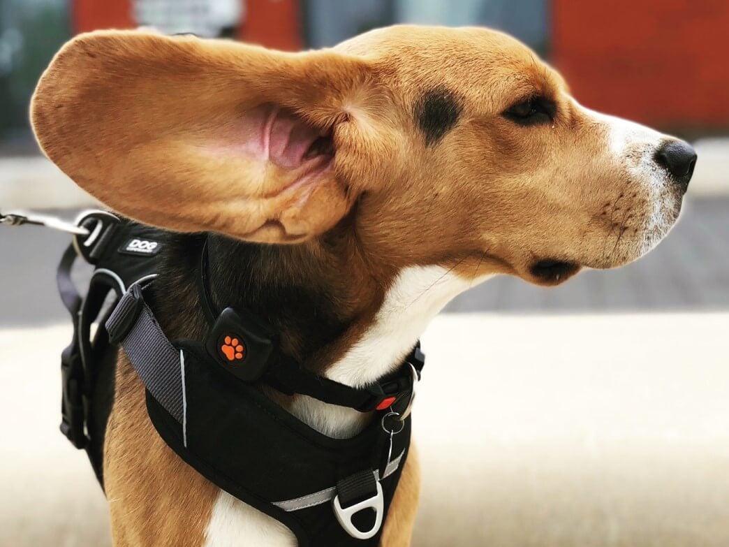 Beagle wearing a harness