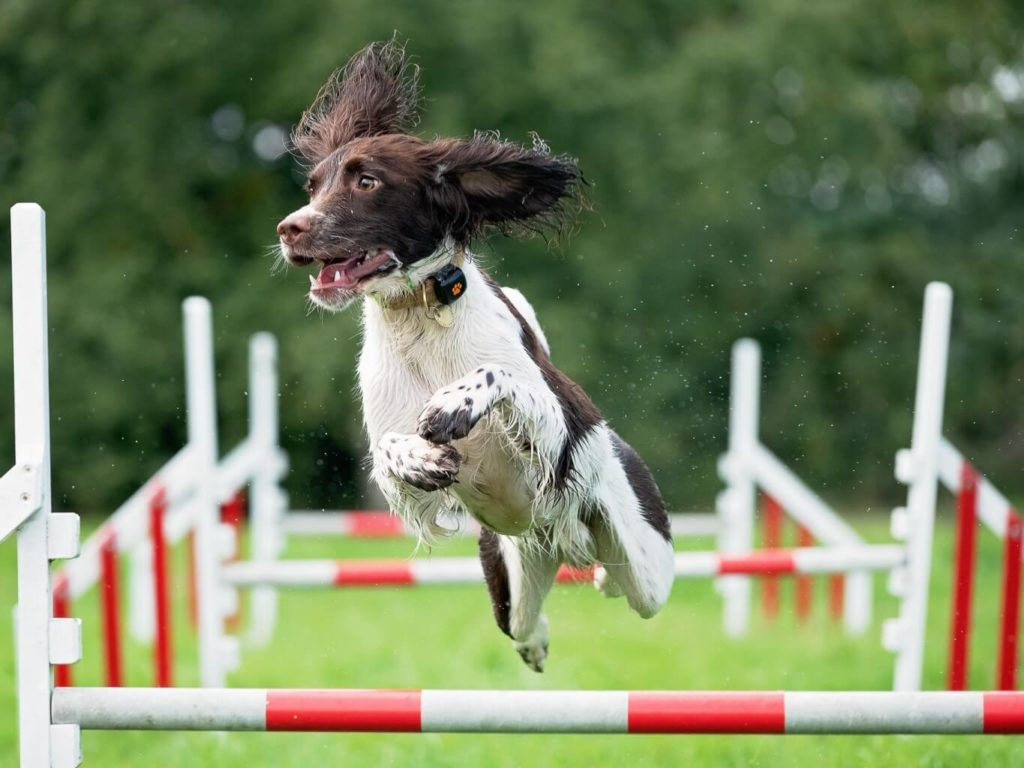 Springer Spaniel leaping over jump