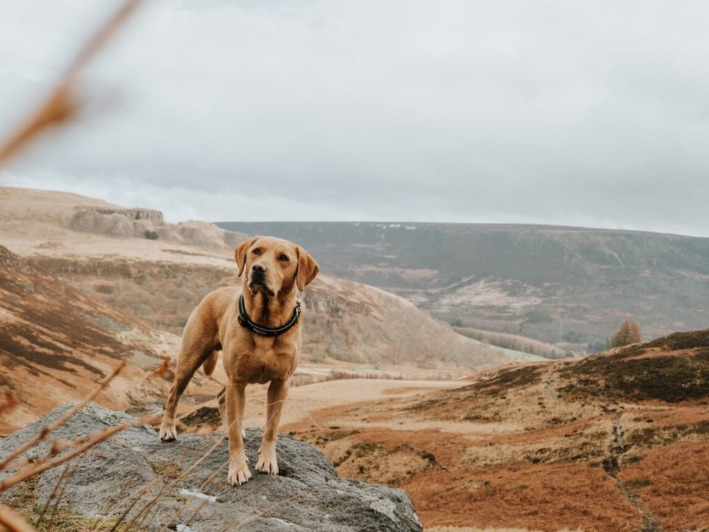 Golden Labrador Retriever standing in front of a view of a valley