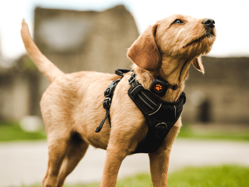 Golden coloured puppy wearing a harness