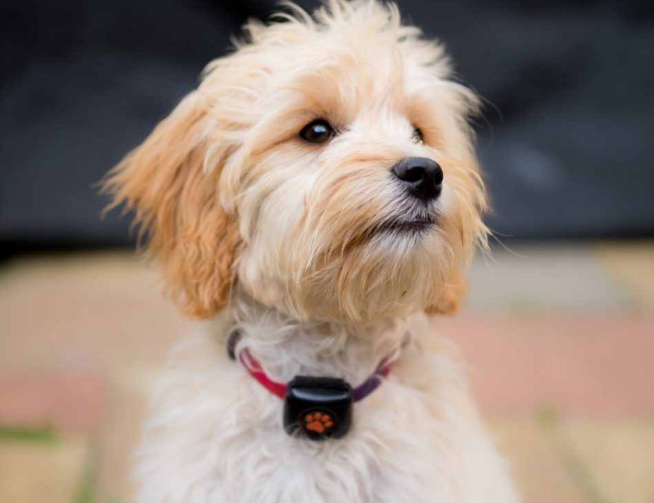 Blonde Cockapoo wearing a PitPat