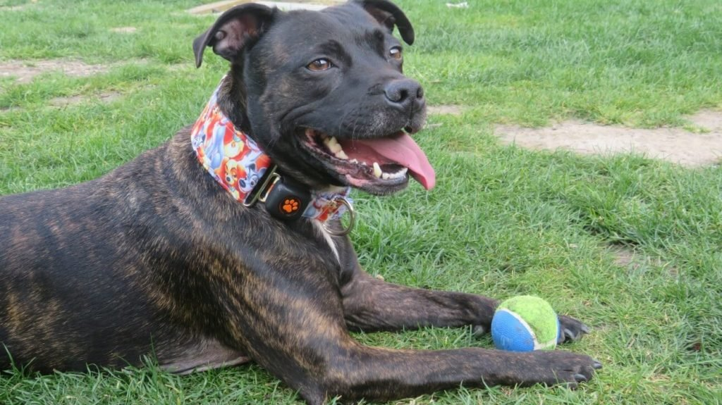 Staffordshire Bull Terrier lying on grass with tennis ball