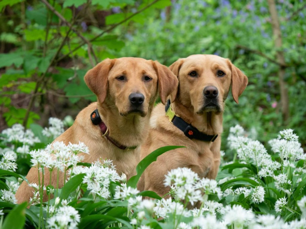 Two golden labrador retrievers sitting amongst white flowers