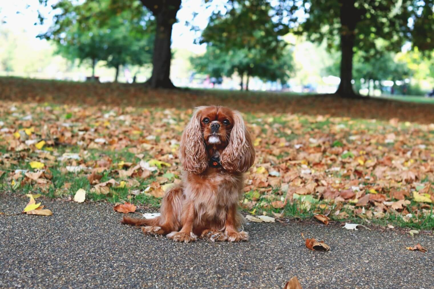 Cavalier King Charles Spaniel sitting in front of leaves