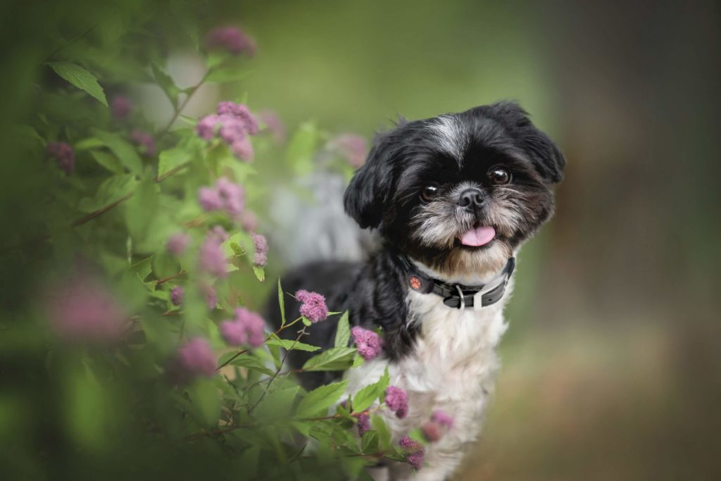 Shih Tzu looking out from behind a bush