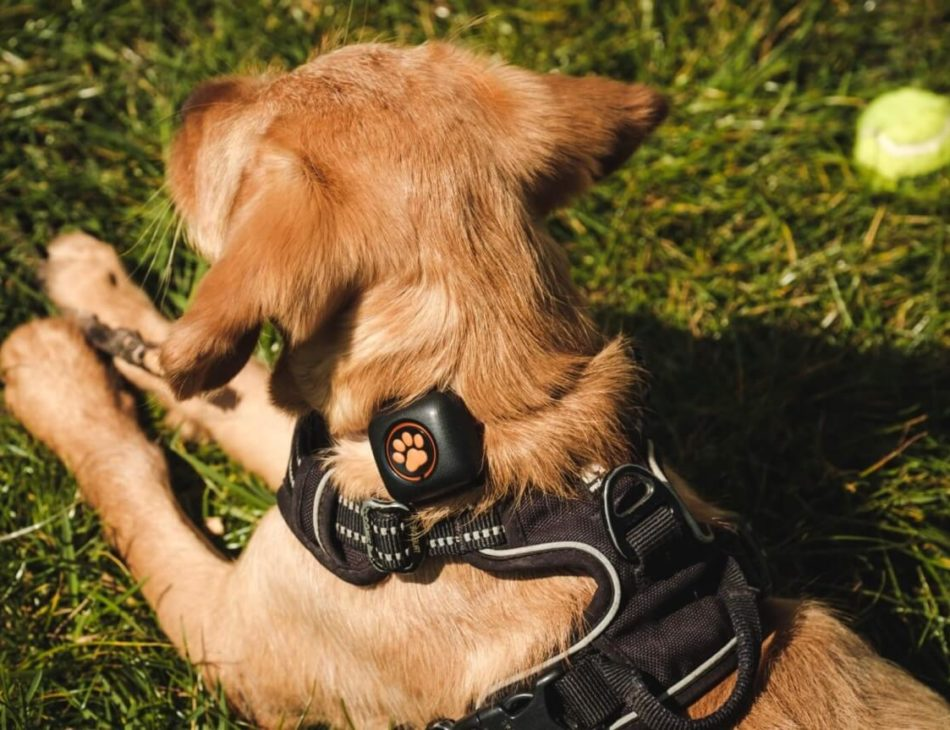 Light brown puppy wearing a harness and a PitPat
