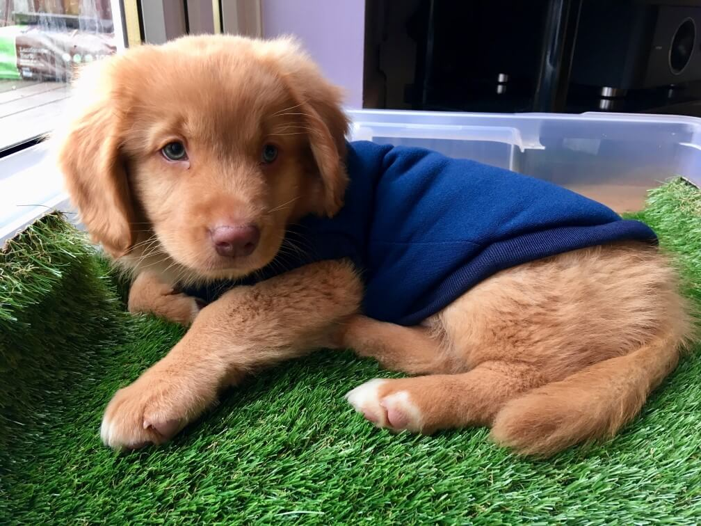 Duck Toller Retriever puppy