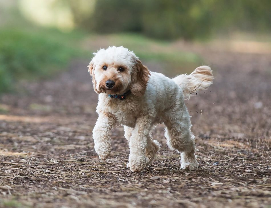 Cockapoo walking in the woods