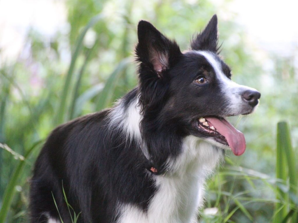 Border Collie outside