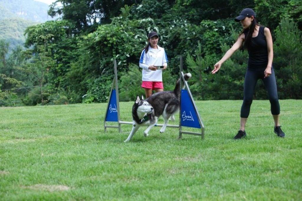 Siberian Husky doing agility