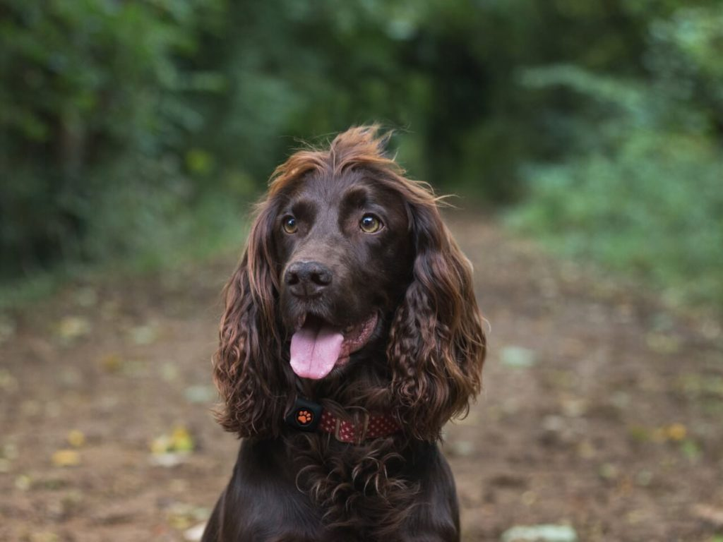 Brown Cocker Spaniel in forest