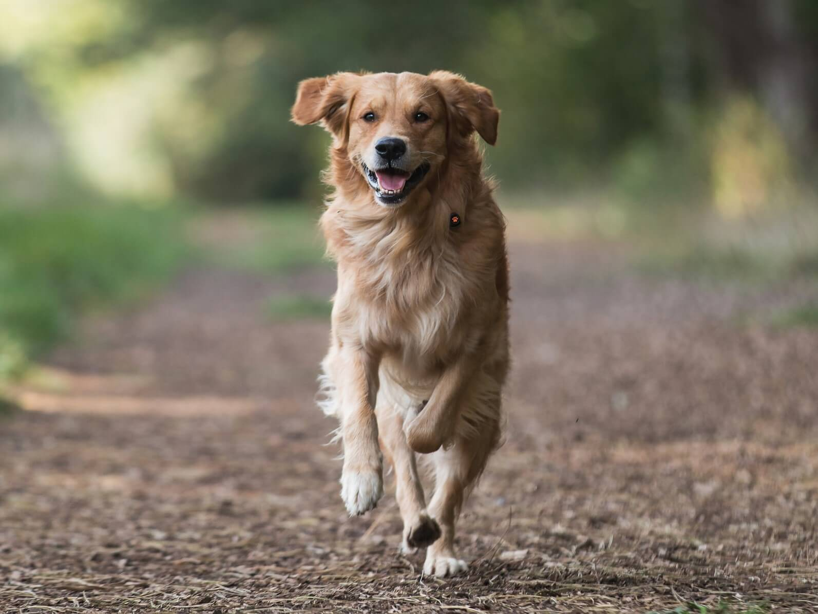 Golden Retriever running in forest