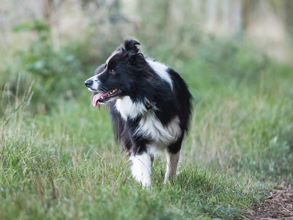 black and white collie in grass