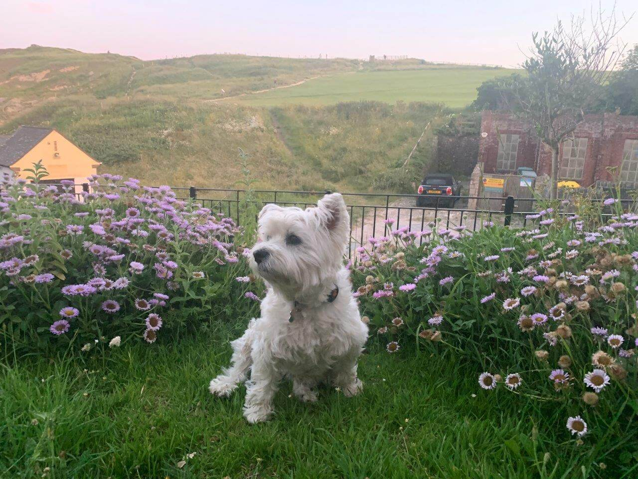 West Highland White Terrier sat amongst flowers