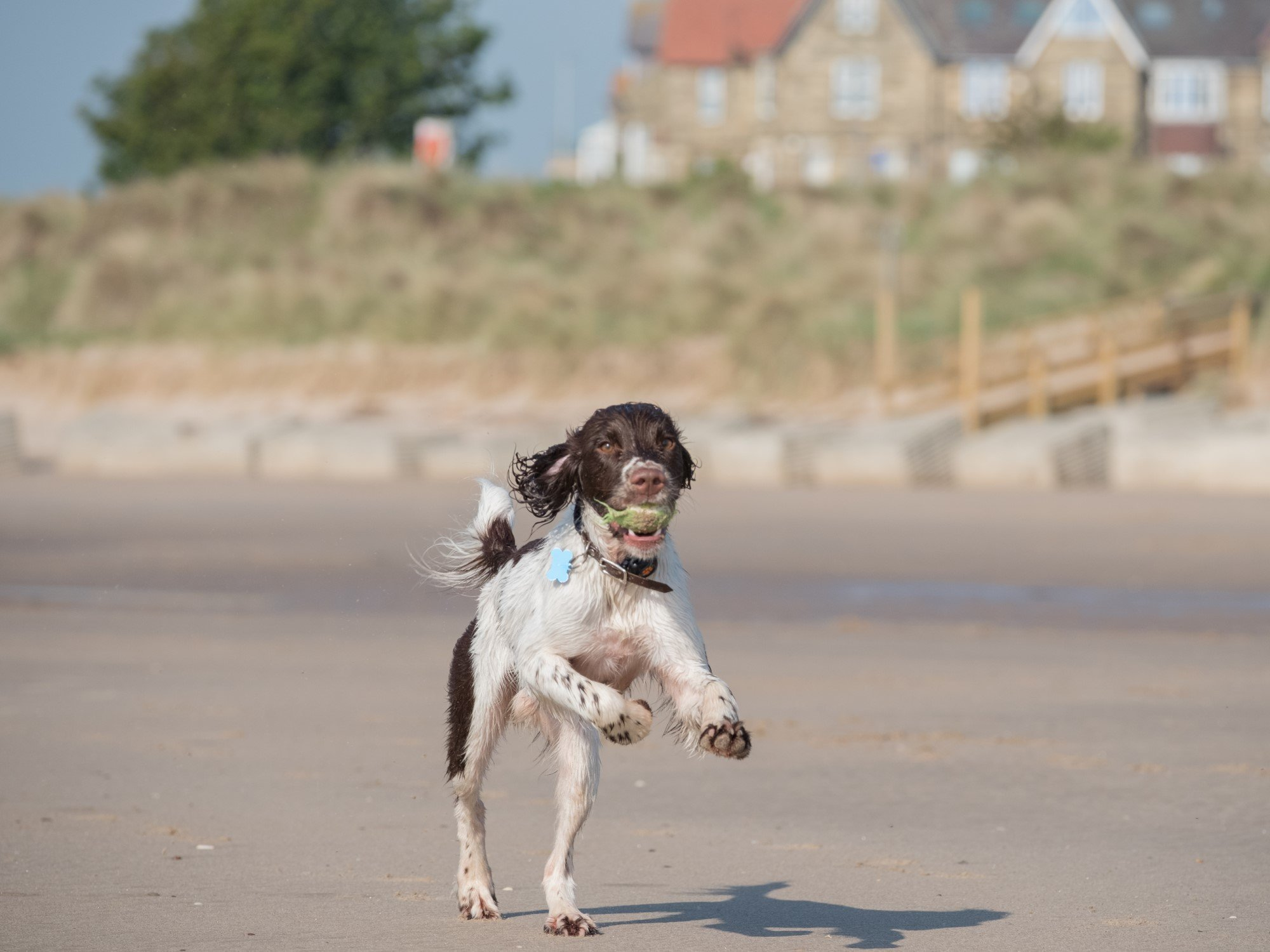 Spaniel running along the beach