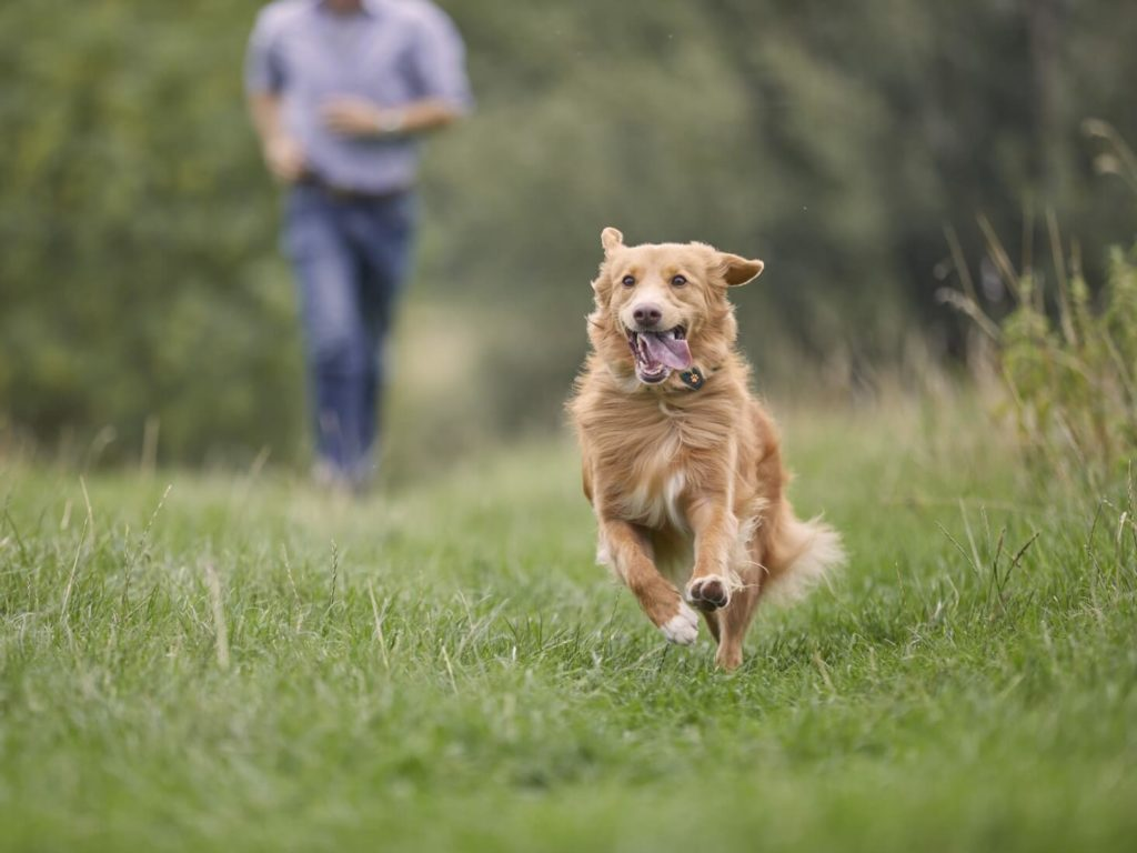 Dog running in field away from owner