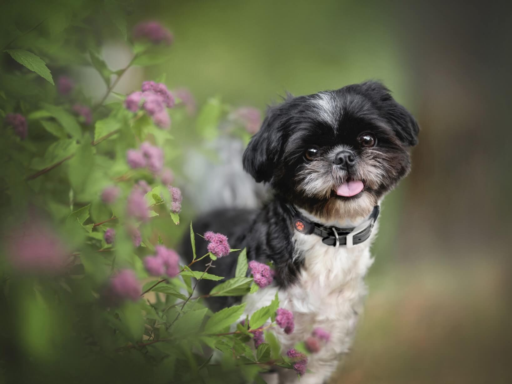 Shih Tzu in garden next to pink flowers