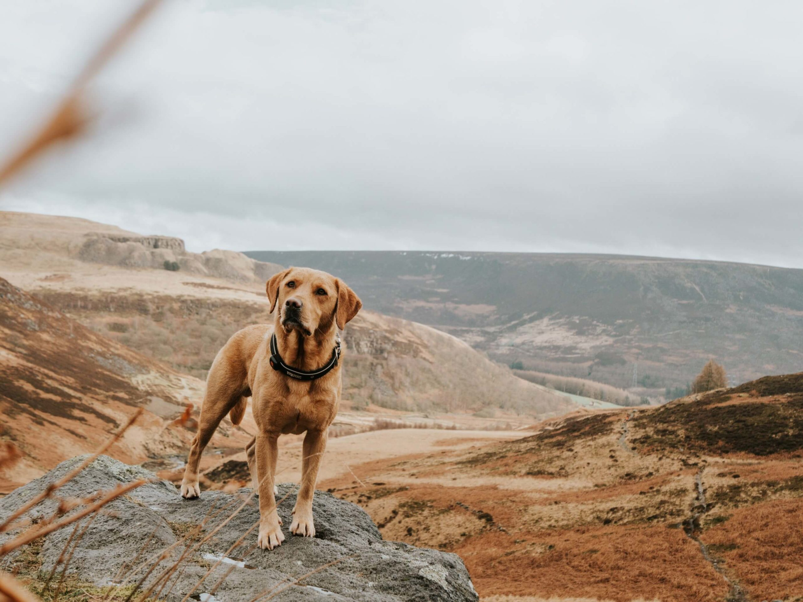 Labrador on rock with hills in the background