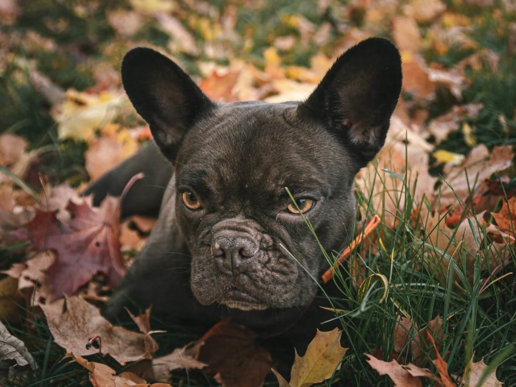 French Bulldog laying in autumn leaves