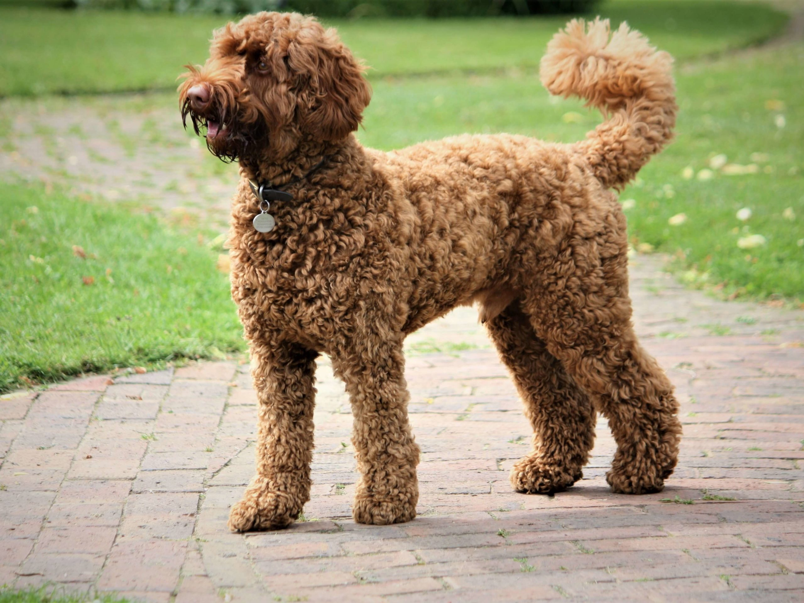 Brown Labradoodle outside